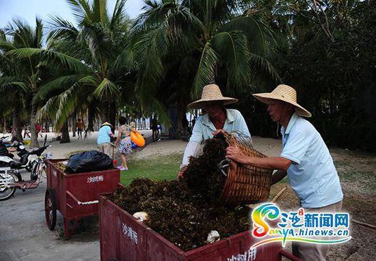 环卫工人将清理的海藻装上车。(三亚新闻网记者