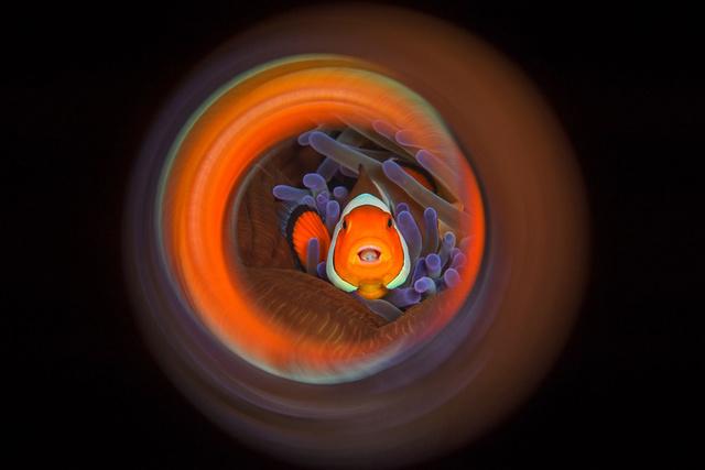 小丑鱼的漩涡