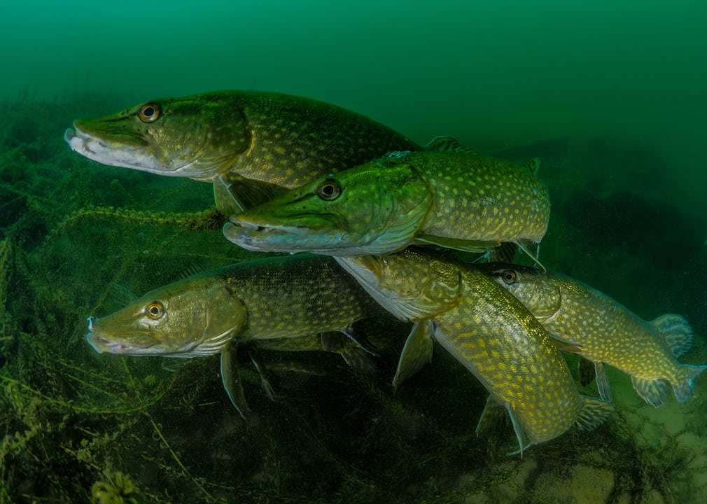 How many pike