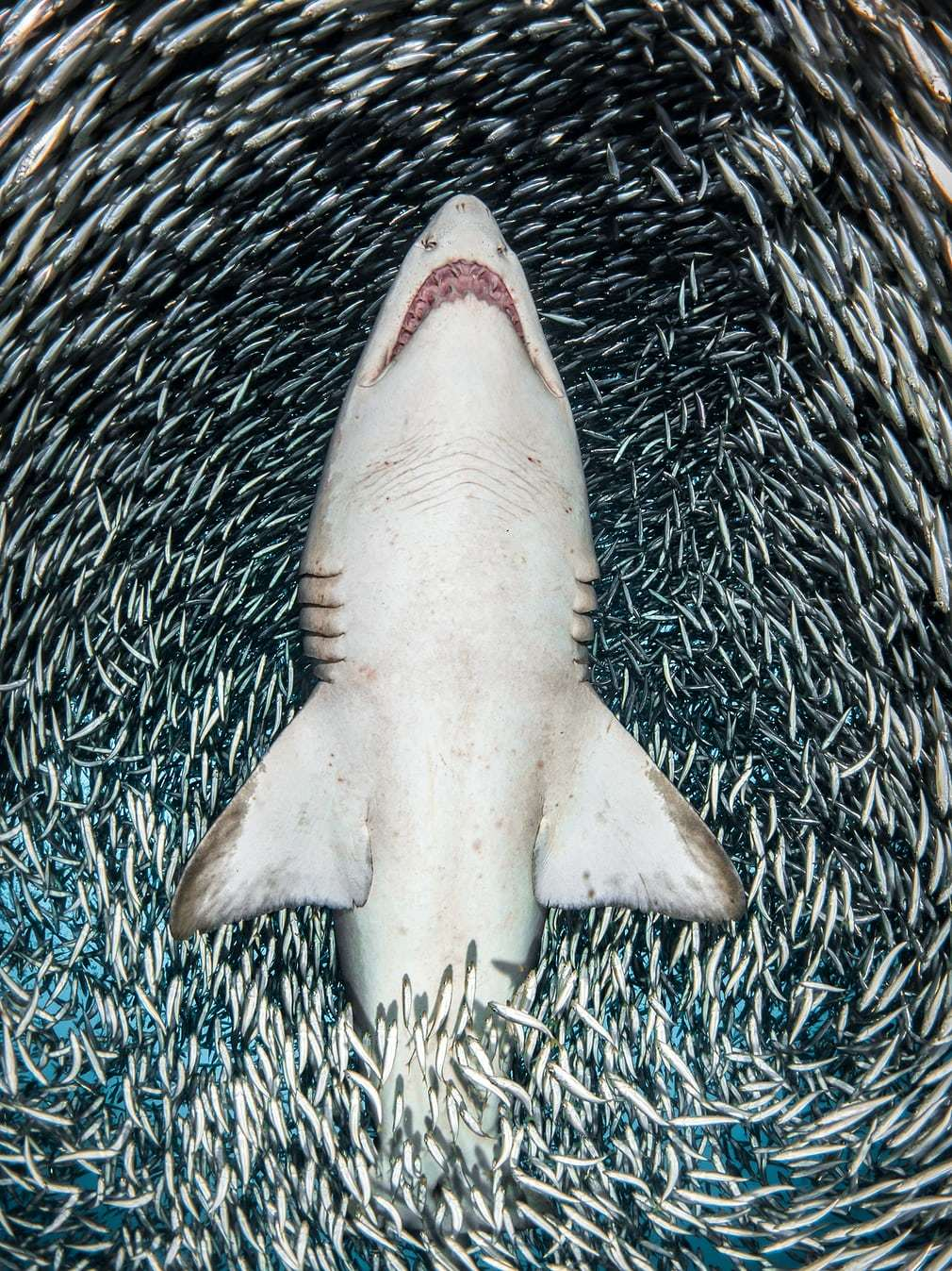 A sand tiger shark surrounded by tiny bait fish
