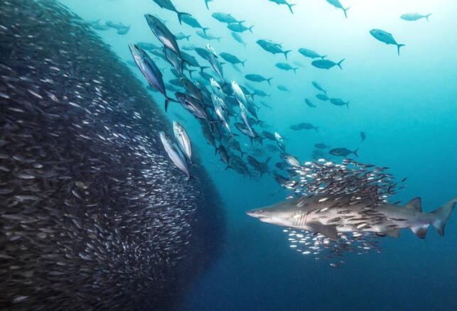 虎鯊邂逅魚群風暴