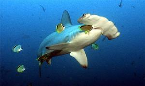 帶著兩個大發髻的巨型鯊雙髻鯊