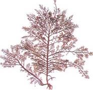 紫紅色絲狀體單細胞藻類紅毛菜