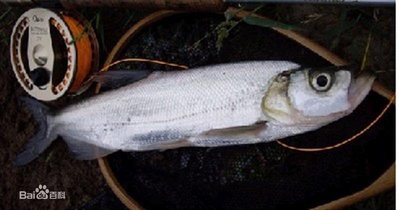 中文学名:翘嘴红鲌 拉丁学名:Erythroculter ilishaeformis 别 称:翘嘴巴、翘鲌子、鲌刺鱼、白鱼等 分布区域:长江中下游各地区水域 翘嘴鱼学名翘嘴红鲌,体型较大,体细长,侧扁,呈柳叶形。头背面平直,头后背部隆起。口上位,下颌坚厚急剧上翘,竖于口前,使口裂垂直。眼大而圆。鳞小。翘嘴红鲌属中、上层大型淡水经济鱼类,行动迅猛,善于跳跃,性情暴躁,容易受惊。其生长迅速,是以活鱼为主食的凶猛肉食性鱼类,苗期以浮游生物及水生昆虫为主食,50克以上主要吞食小鱼小虾,也吞食少量幼嫩植物,具有很