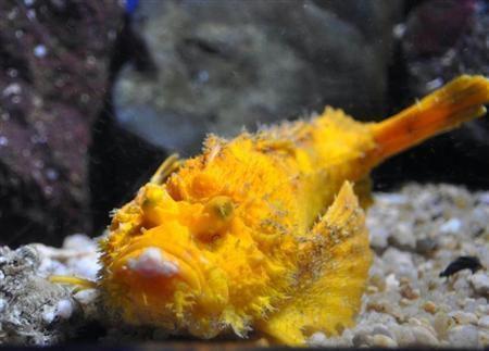 日本展出罕見老虎魚 通體金黃引游客圍觀