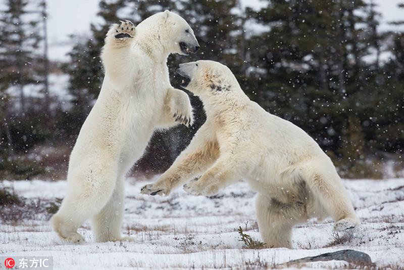 海洋科普 海洋知识大全 加拿大北极熊雪地约架 胜负难分 >>正文内容