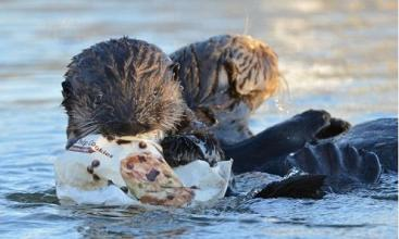 """海鸟误食海洋塑料垃圾源于""""嗅觉陷阱"""""""