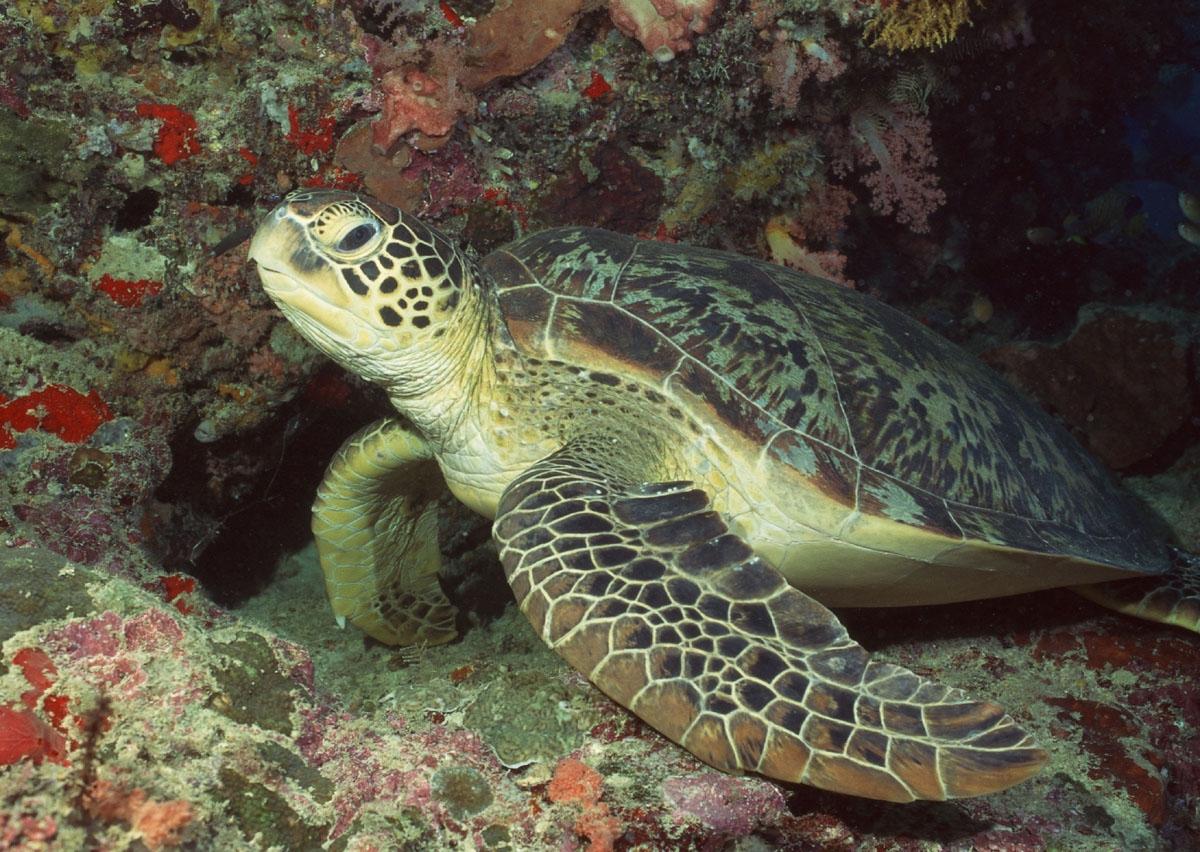 海洋中的寿星——海龟