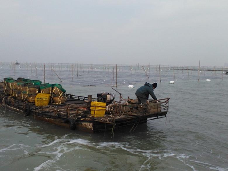 日照市浅海养殖紫菜进入收获期